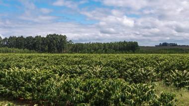 Specie coltivate e importanza della coltivazione del caffè